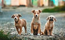 Três filhotes de cachorro grande