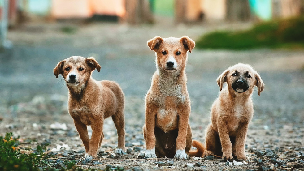 COVID-19 Makes Puppies More Popular