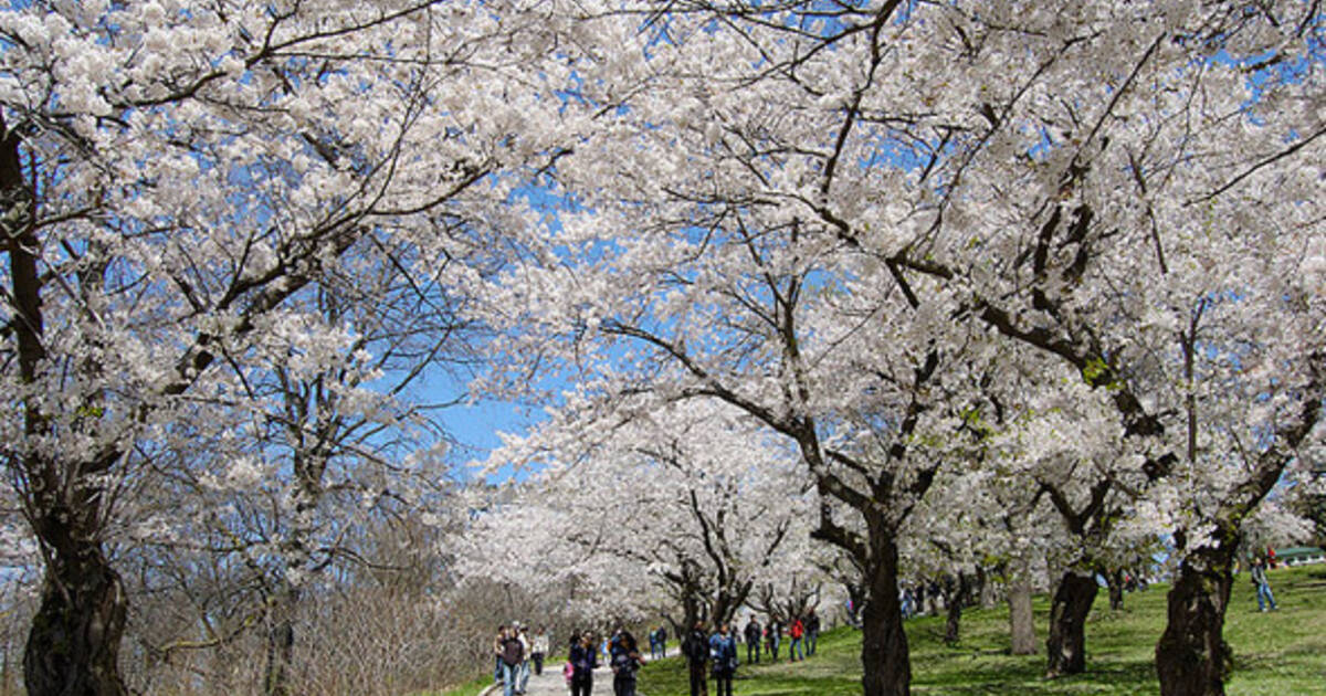8995-201288-high-park-cherry-kiril