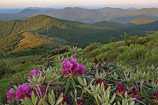 Mountain Rhododendron, Asheville, NC by Jonathan Jackson - Fine art photography for sale on www.mountainmultimedia.net