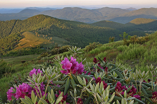 Mountain Rhododendron, NC