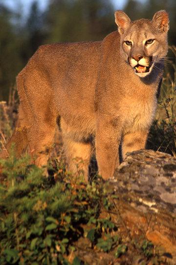 Mountain Lion in Kalispell, MT