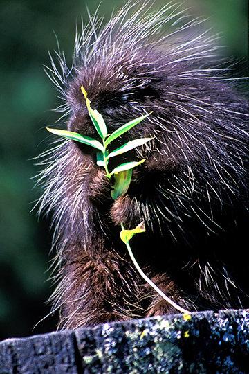 Porcupine Portrait, MT