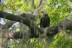 Bald Eagle in Royal's Yard-4x6-90.jpg