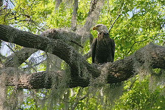 Bald Eagle and Spanish Moss, FL by Jonathan Jackson - Fine art photography for sale on www.mountainmultimedia.net