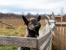 Våre geiter gleder seg allerede på å hilse på deg!
