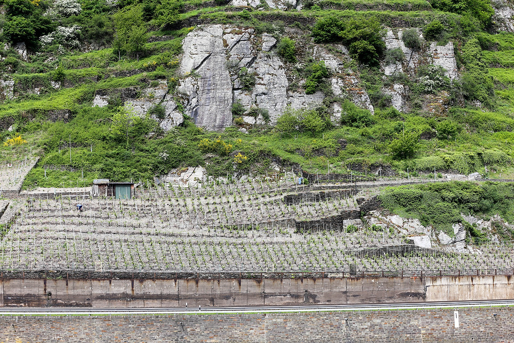 Vineyards and and a rocky slop leading from the Rhine River.