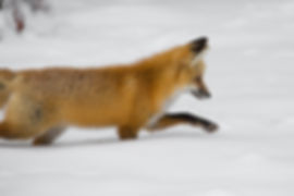 fox-hunting-1464916194CDt.jpg