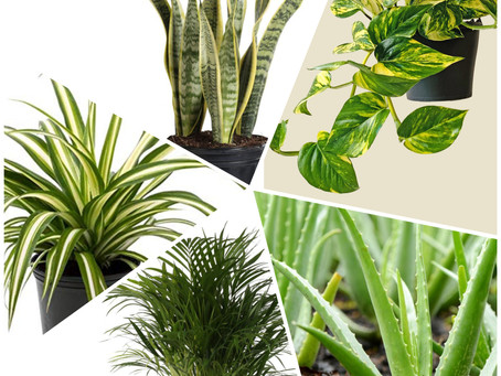 """""""How to grow your Air Purifier at home"""" - Top Air purifying indoor plants"""