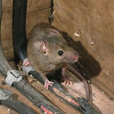 pest-control-mice-side.jpg