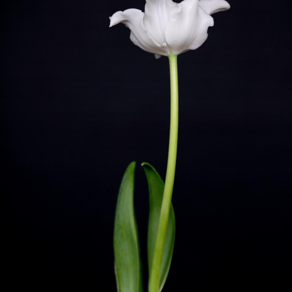 Tulip in White #4
