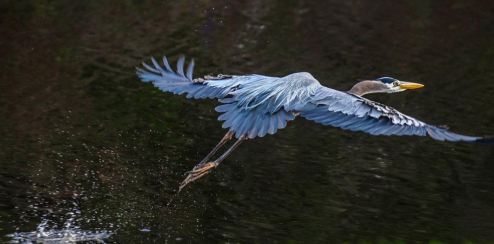 blue-heron-in-flight (3).jpg