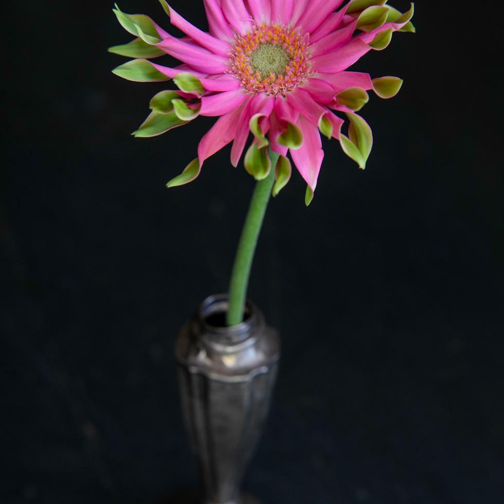 Pink Gerber #2