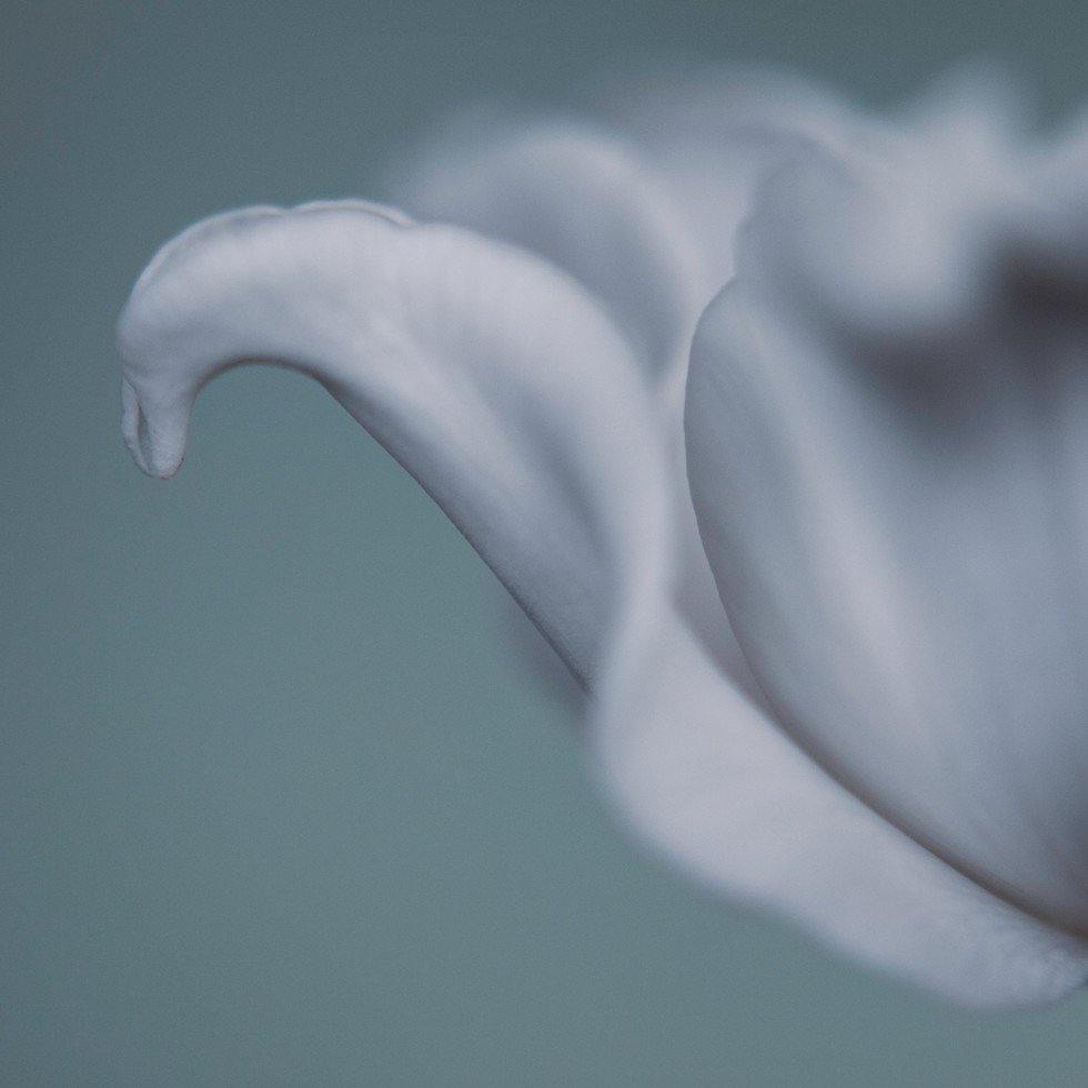 Tulip in White #2