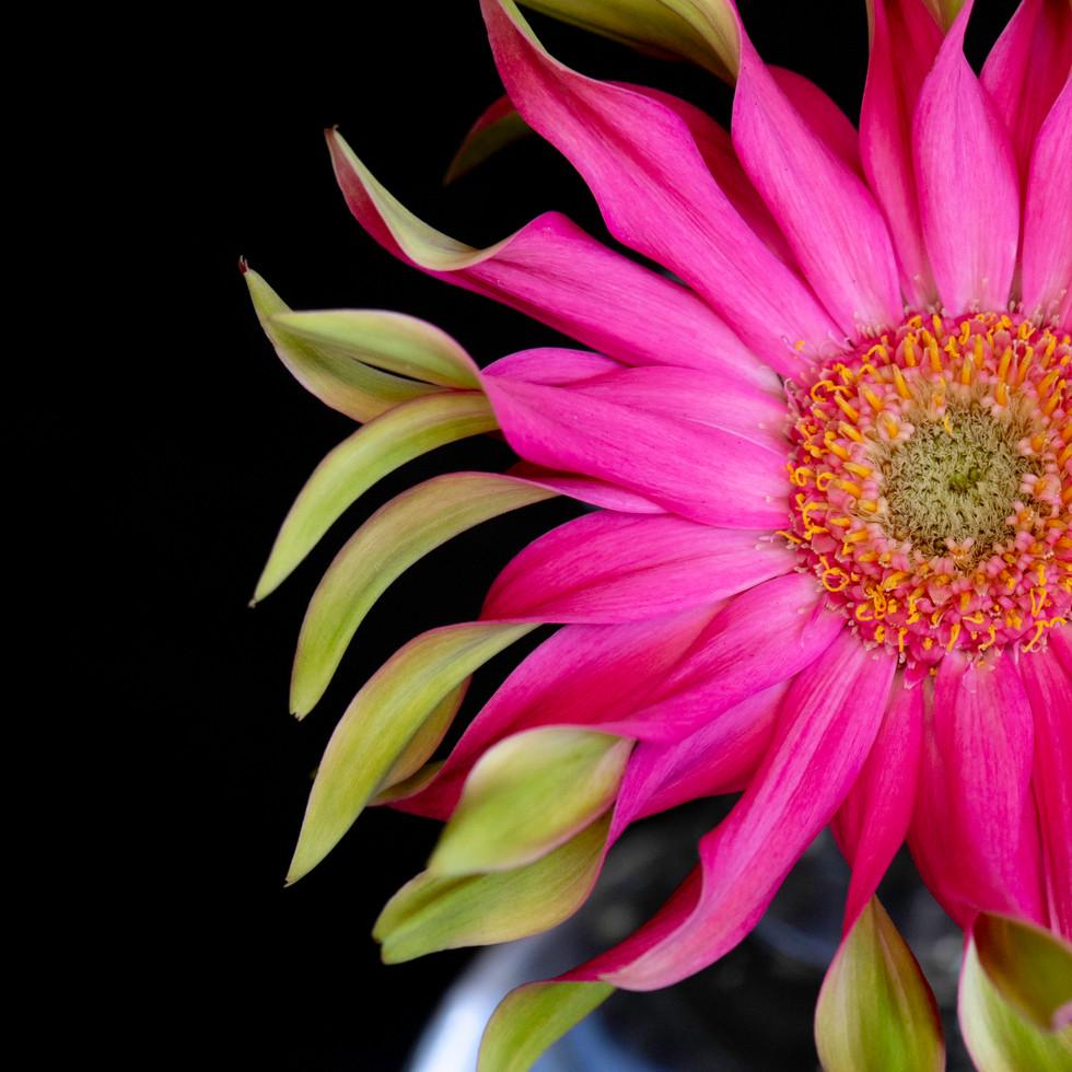 Pink Gerber #3