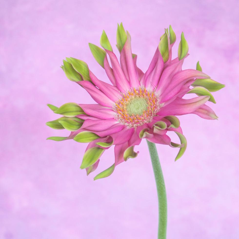 Pink Gerber #1