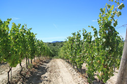 Montaldeo vineyard