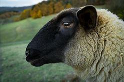animal-close-up-countryside-241522.jpg