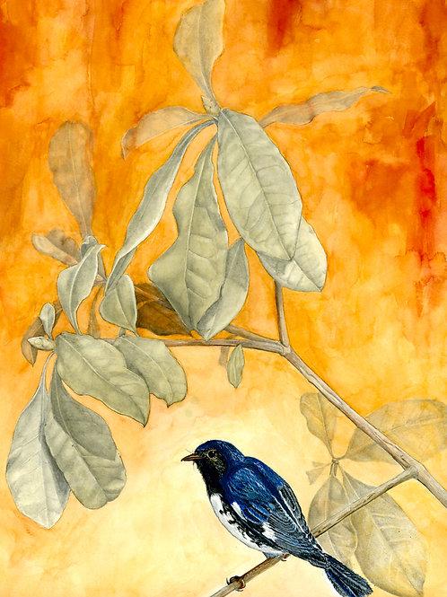 Black Throated Blue Warbler-Prints only