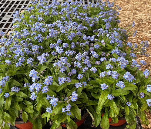 Forget Me Nots Perennial