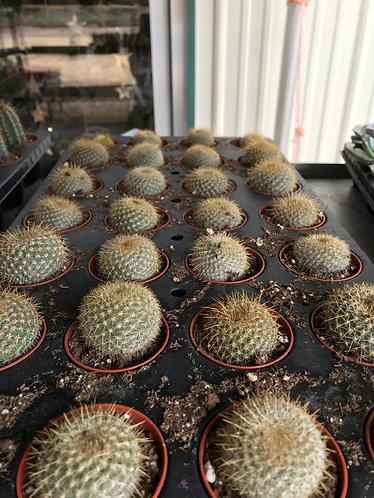 """Cactus, 2"""" Pot"""