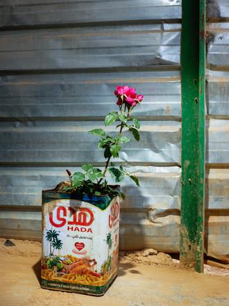 spray rose. terbol, libanon - mai 2018