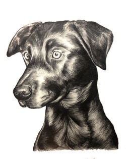 Black Labrador Drawing