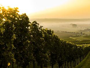 Puesta de sol sobre viñedo