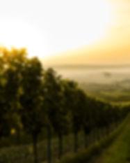 Pôr do sol sobre o vinhedo