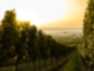 ブドウ畑に沈む夕日