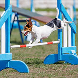 bigstock-Jack-Russell-Terrier-Jumping-O-