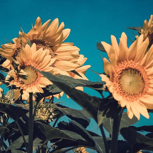 """Sunflower Blues"" 20x20 Canvas"