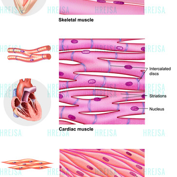 Summary of Main Types of Muscle