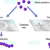 Catalase Test for Bacteria