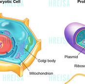 Differences between Eukaryotic and Prokaryotic cells