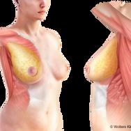 Breast Tissue