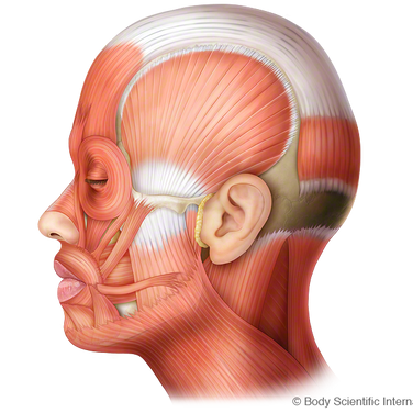 Facial Muscles (Lateral)
