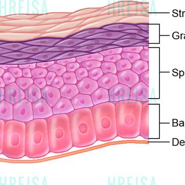 Layers of the epidermis