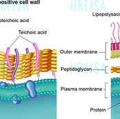 Gram-positive and gram-negative cell wall