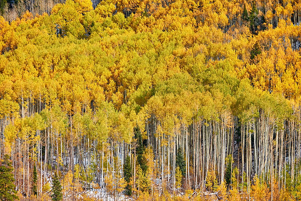 aspen-grove-at-autumn-in-rocky-mountains