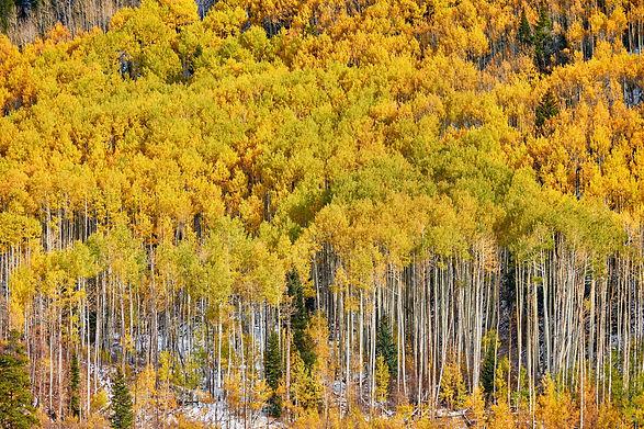 aspen-grove-at-autumn-in-rocky-mountains