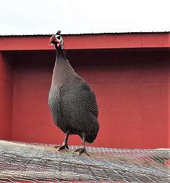 Harold the Guinea Hen.jpg
