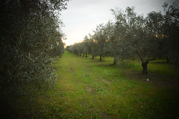 olivar.jpg