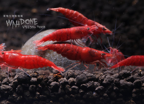 極火蝦(50-100隻)