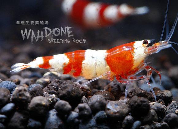 紅白水晶蝦(50-100隻)