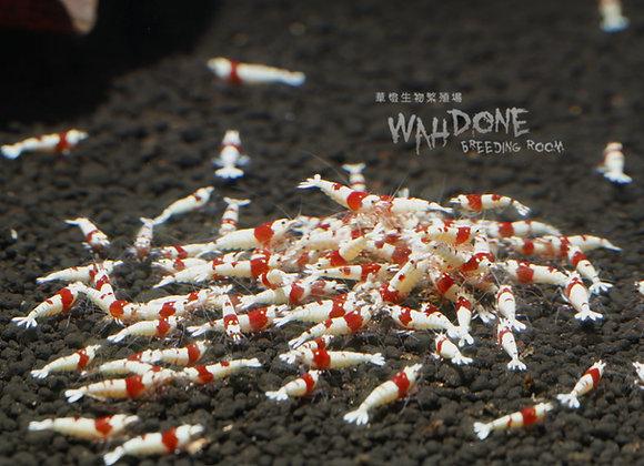 紅白日之丸水晶蝦