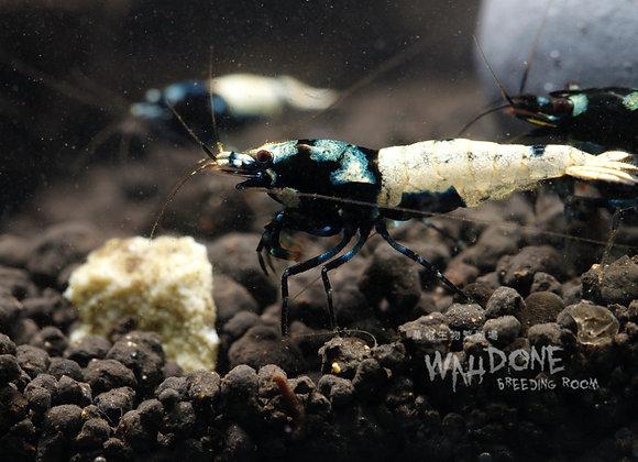 黑pinto母蝦