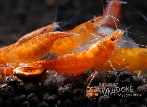 南瓜蝦(50-100隻)