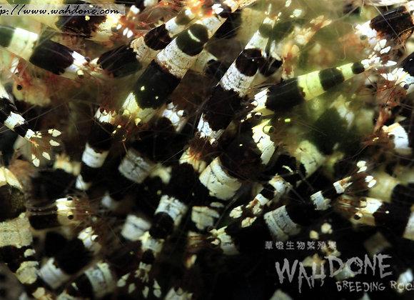 黑白水晶蝦