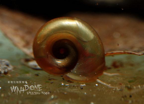 紅蘋果螺 (3隻)